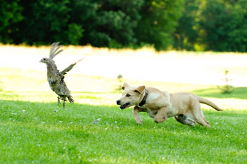 Puppy Bird Hunting Training